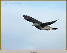 feral-pigeon-08.jpg