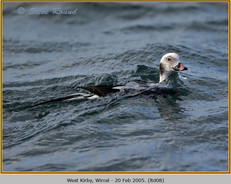 long-tailed-duck-08.jpg