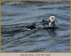 long-tailed-duck-08.jpg