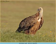 griffon-vulture-53.jpg