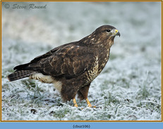 buzzard-106.jpg