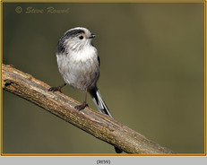 long-tailed-tit-59.jpg