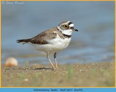little-ringed-plover-35.jpg