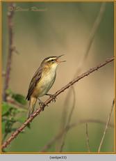 sedge-warbler-33.jpg