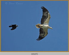 white-bellied-sea-eagle-05.jpg