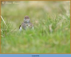 common-sandpiper-18.jpg