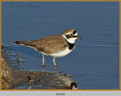 little-ringed-plover-18.jpg