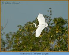 great-white-egret-33.jpg