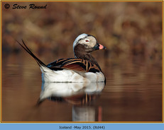 long-tailed-duck-44.jpg