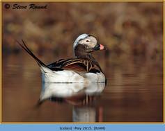 long-tailed-duck-44.jpg