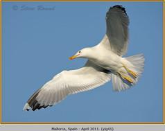 yellow-legged-gull-41.jpg