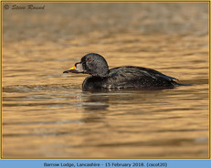 common-scoter-20.jpg