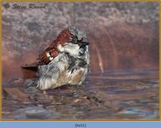 house-sparrow-51.jpg