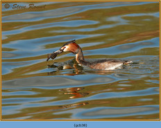 great-crested-grebe-38.jpg
