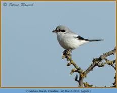 great-grey-shrike-04.jpg