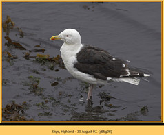 gt-b-backed-gull-08.jpg