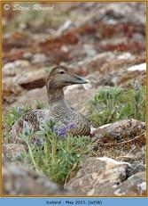 eider-duck- 58.jpg
