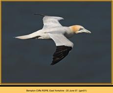 gannet-01.jpg