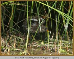 spotted-crake-04.jpg