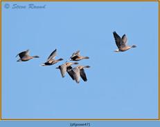pink-footed-goose-47.jpg