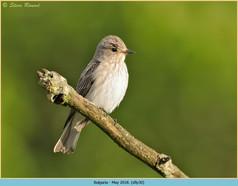 spotted-flycatcher-30.jpg