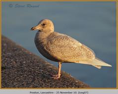 iceland-gull-07.jpg