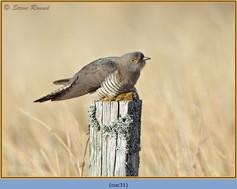 cuckoo-31.jpg