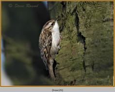 treecreeper-29.jpg