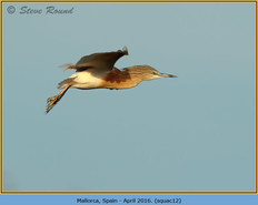 squacco-heron-12.jpg
