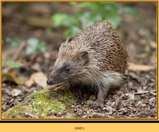 hedgehog-01.jpg