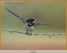 swallow-41.jpg