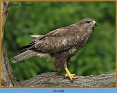 buzzard- 90.jpg