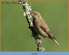 greenfinch-64.jpg