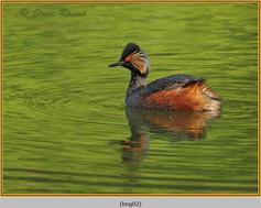 black-necked-grebe-02.jpg