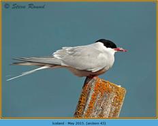 arctic-tern-43.jpg