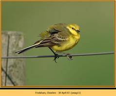 yellow-wagtail-11.jpg