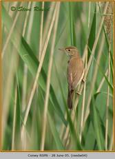 reed-warbler-04.jpg