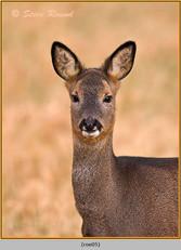 roe-deer-05.jpg