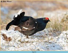 black-grouse-121.jpg