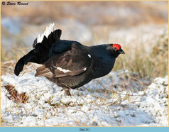 black-grouse-121.jpg