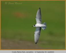 white-winged-black-tern-02.jpg