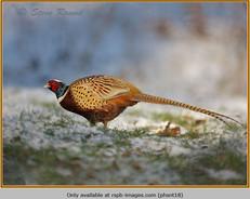 pheasant-18.jpg