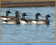 brent-goose-19.jpg