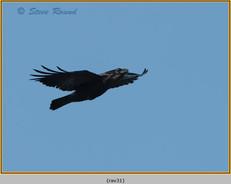 raven-31.jpg