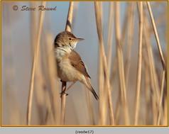 reed-warbler-17.jpg