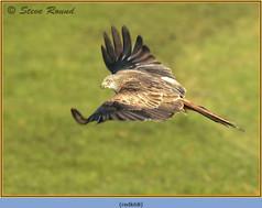 red-kite-68.jpg