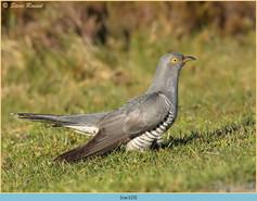 cuckoo-123.jpg