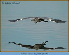 grey-heron-72.jpg