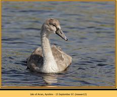 mute-swan-12.jpg