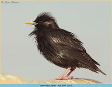 spotless-starling-18.jpg